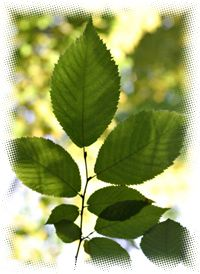 In herbal medicine a Slippery Elm bark powder is considered one of the best possible poultices for wounds, boils, ulcers, burns and reducing pain and inflammation. The tree's inner bark is rich in mucilage, a spongy, slippery fiber that soothes and coats mucus membrane inflammation and irritation in the throat and urinary tract when the herb is taken as a tea or infusion.
