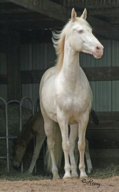 Go Girl an Akhal-Tekes mare in rare perlino color. of course I desire one!