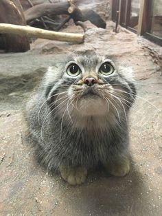√ 14 Most Amazingly Beautiful Cat Breeds in the World - Katzenrassen Beautiful Cats Beautiful Cat Breeds, Beautiful Cats, Cute Funny Animals, Funny Cats, Kittens Cutest, Cats And Kittens, Felis Manul, Animals And Pets, Baby Animals