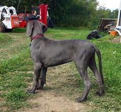 Diesel the European Great Dane Puppy gonna be a huge dog Blue Great Danes, Dane Puppies, Huge Dogs, Great Dane Puppy, Diesel, Funny Pictures, Pet Puppy, Pets, Friends