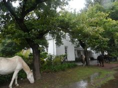 """GREYTON - """"the most beautiful village in the Cape"""" We visited Greyton, on a cool and rainy day last week, but this did not distract from the quaintness and beauty of the village. We were enthralled from the moment we arrived and the first sight to greet us was the beautiful wild horses wandering on the side of the main road.... Wild Horses, Wander, South Africa, Maine, Most Beautiful, In This Moment, Country, Beauty, Beleza"""