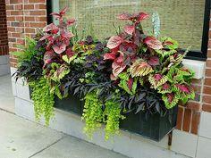 Urläcker balkonglåda med palettblad och batat