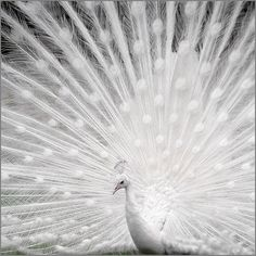 Albino Peacock. Just as beautiful as a... colored peacock...