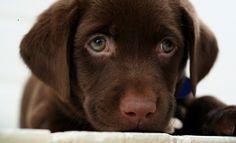 Labrador Carattere Cucciolo Foto