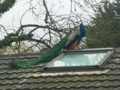 Peacock on a velux windows?