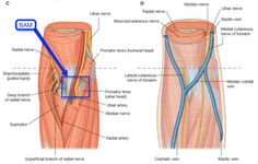 Median nerve in cubital fossa - BAM ( lat.-med.): Bicpets tendo, brachial Artery, Median nerve