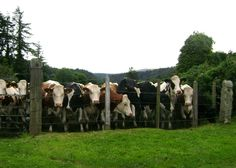 I loved the Irish cows!