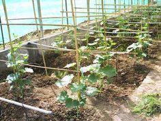 Jaringan pipa kecil dan emiter disekitar tanaman (cucumber with drip irrigation)