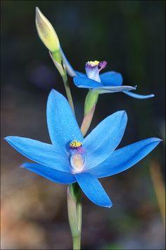 Thelymitra Crinita .. Blue Lady Orchid - Australia