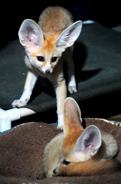 Baby foxes, rejected by mom, make their debut  (Photo credit: Milwaukee County Zoo)