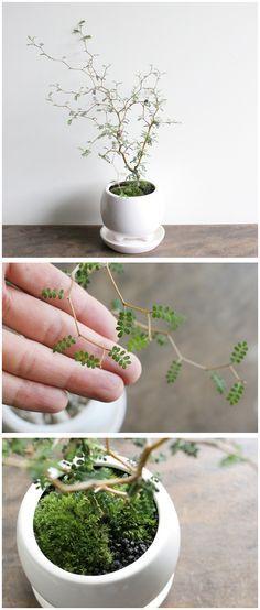 Sophora Prostrata 'little baby' ou 'arbre des pagodes'. Charmant arbuste à feuilles caduques moyennement rustique (-10°C, cultiver en pot pr hivernage en véranda). Ses rameaux très tortueux offrent une incroyable pousse en 'Zigzag'. Ses toutes petites feuilles st d'1 beau vert-franc. Entre mai et juillet, ses fleurs en forme de bec de perroquet sont d'1 superbe jaune-orangé. Il se contente d'1 sol ordinaire et drainé ou même calcaire en expo ensoleillée ou mi-ombragée.