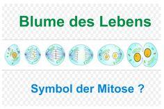 Bildquelle: Clker-Free-Vector-Images/ http://pixabay.com/de/wissenschaft-biologie-zellen-41575/   Zellteilung, Keimblätter – die Blume des Lebens? Der nachfolgende Artikel stellt den Versuch einer gedanklichen Orientierung dar.