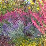 smaller_Russian Sage, Agastache, Helianthus and Zinnia grandiflora