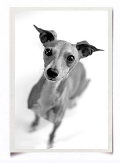 miniature italian greyhounds are the best!!!!!!!!!!!