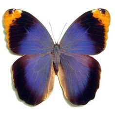 Rare Butterflies of the World | RARE HUGE PURPLE ORANGE CALIGO BUTTERFLY