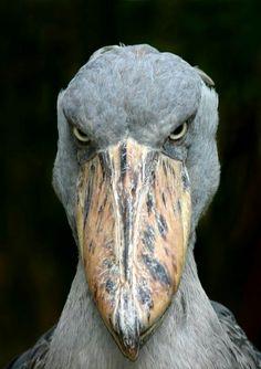 Parece pré histórico mais não é! Ele existe!  (shoebill ou cegonha-bico-de-sapato é uma ave de bico grosso, grande, largo e comprido, que lhe confere a aparência de um cetáceo.  Vive em regiões pantanosas localizadas no centro do continente africano.)