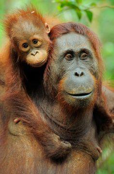wild-heartedx: Orangutan (Werner Bollmann)