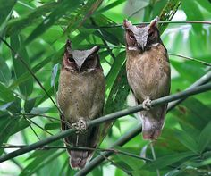 White-fronted Scops Owl (Otus sagittatus) by Peter Ericsson Owl Photos, Owl Pictures, Owl Bird, Pet Birds, Bird Art, Animals And Pets, Cute Animals, Draw Animals, World Birds