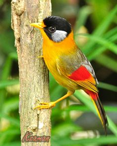 Silver-eared Mesias are distributed from the Eastern Himalayas to Western China,