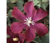Midnight Showers |Clematis, Vines, Flower, Gardening | Blooming Secrets
