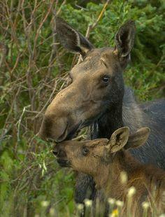 Precious...  Mama Moose & Baby