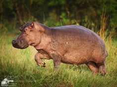 Nilpferd oder Flusspferd in Uganda by urs-schmidli via http://ift.tt/246Okvq