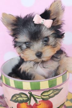 Free Teacup Yorkies Two TEACUP YORKIE PUPPIES FOR FREE