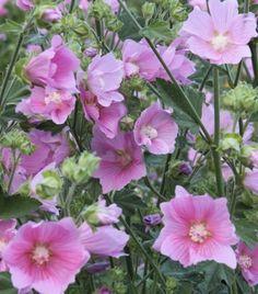 Harmaamalvikki - Lavatera thuringiaca Spikes, Flowers, Plants, Animals, Color, Cnd Nails, Animales, Studs, Animaux