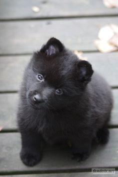 V-litter dob - Kristiina's gallery / Fandal's schipperkes Schipperke Puppies, Holiday Pictures, Shiba Inu, Yorkshire Terrier, Cute Baby Animals, Yorkie, My Best Friend, Dog Breeds, Dogs And Puppies