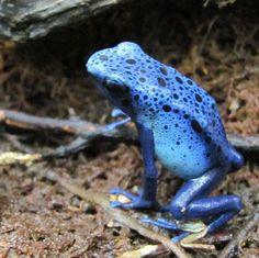 Male azureus blue dart frog. Photo by Rachel Jensen.