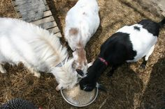 If you are considering homesteading or are a homesteader, you should consider adding goats to your homestead. Goats are one of the most versatile animals to own. They can provide milk, meat, companionship, and help clear your land even if you only have a small area. When most people think about dairy animals, cows come…