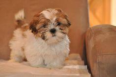 Love Shih Tzu Puppy, Puppy Love, Puppies, Dogs, Animals, Image, Baby Shih Tzu, Animaux, Doggies