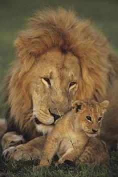 Male lion (Panthera leo) with cub, Masai Mara National Reserve, Kenya African Cats, African Animals, Beautiful Cats, Animals Beautiful, Majestic Animals, Beautiful Creatures, Cute Baby Animals, Animals And Pets, Wild Animals