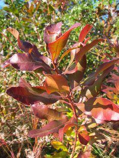 True Colors: 9 Best Shrubs for Fall Foliage: Gardenista