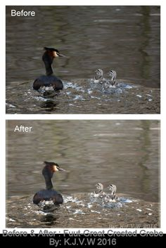https://flic.kr/p/EL8NG8 | Before & After 11 | Fuut - Great Crested Grebe   (Feel free to give feedback, it will help to improve my work)  After Version:  www.flickr.com/photos/116827835@N07/25964531801/in/photos...
