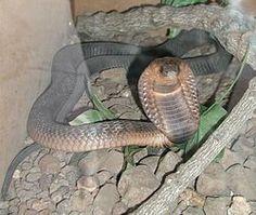 Șarpele (Serpentes) este un subordin din clasa reptilelor fără picioare. Șerpii, cunoscuți și sub numele de ofidieni, sunt reptile cu solzi a căror principală caracteristică este mobilitatea unică a oaselor faciale, forma lungă a corpului și lipsa membrelor. Capul, trunchiul și coada sunt acoperite de solzi duri. Partea caracteristică a scheletului unui șarpe este craniul: articulațiile maxilarelor au un ligament extrem de elastic, ceea ce le conferă o mobilitate extraordinară.