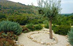 Swans olive tree and olives on pinterest for Gartengestaltung olivenbaum