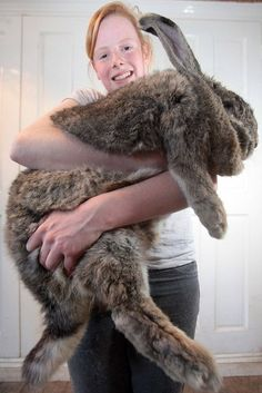 25 Giant Bunnies So Big They Could Destroy You. my husband has been trying to convince me for years that we need a Flemish giant rabbit. Giant Bunny, Big Bunny, Cute Bunny, Hunny Bunny, Giant Animals, Big Animals, Funny Animals, Crazy Animals, Adorable Animals