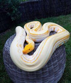 "724 Likes, 4 Comments - 》E L I T E • R E T I C S (@elite_retics) on Instagram: ""Albino lav gs #snake #reticulatedpython #reptiles"""