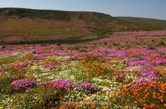 Photos and pictures of: Spring flowers on farmland outside Garies, Namaqualand, South Africa - The Africa Image Library Spring Flowers, Wild Flowers, South Africa, Pictures, Photos, The Outsiders, Mountains, Gallery, Nature