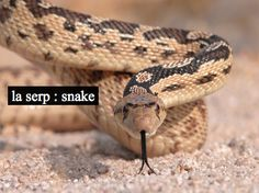 A great picture of a pacific gopher snake (Pituophis catenifer catenifer)! These non-venomous reptiles are common out in the Mojave and are perfect for maintaining rodent populations. Big Animals, Funny Animals, Photoshopped Animals, Snake Wallpaper, Types Of Snake, Cool Snakes, Mojave Desert, Reptiles, Snakes