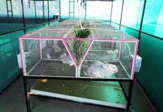Breeding rabbits might seem a little intimidating, if you are new to raising rabbits. Rabbit Hutch Plans, Rabbit Hutches, Meat Rabbits, Raising Rabbits, Rabbit Farm, House Rabbit, Rabbit Cages Outdoor, Rabbit Feeder, Hay Feeder