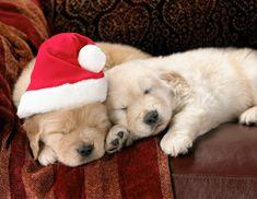 golden retriever sleepy puppies... SO precious!