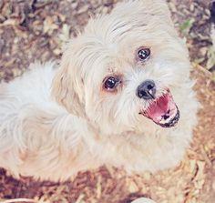 Adopt a Dog: A Wheaton Terrier Mix and a Shih-Tzu in Arizona