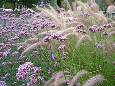 Love this combination - Verbena bonariensis and Pennisetum. - Lovely combination…