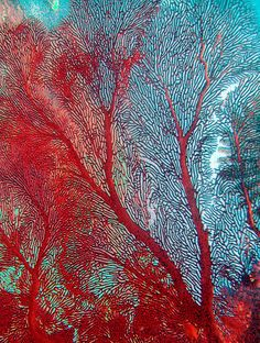Red Coral Seafan - ©Jill Ehring - www.flickr.com/photos/jill_ee/2552356561/