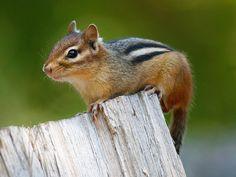 Chipmunk by Robert Grove Animals Beautiful, Cute Animals, Baby Animals, Eastern Chipmunk, Chipmunks, Animal Drawings, Mammals, Kawaii, Christian Movies