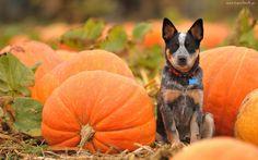 Pies, Dynie, Halloween