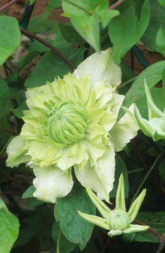 Clematis florida var flore pleno.                     Photo by John Glover