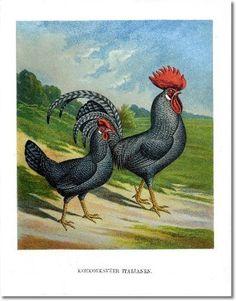 Dutch Poultry - C. Foerester - Dutch Poultry Plate -1888 - 30 - Koekoekveerige Italianen Painting